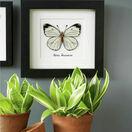 White Butterfly Study Cross Stitch Kit additional 3